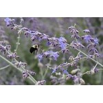 Russian Sage Attracts Bees and Butterflies