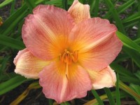 Hemerocallis 'Beauty Girl'