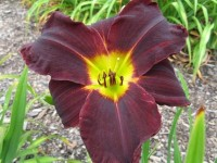 Hemerocallis 'Jungle Beauty'