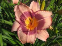 Hemerocallis 'Purple Storm'