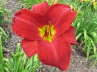Hemerocallis 'Ruby Throat'