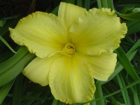 Hemerocallis 'Screaming Yellow Zonkers'