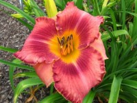 Hemerocallis 'Second Time Around'