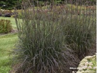 Andropogon 'Blackhawks'