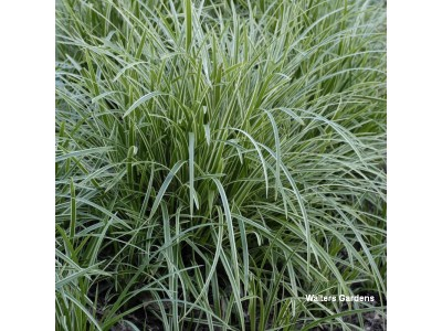 Grass Carex 'Ice Dance'