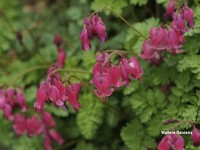 Dicentra 'King of Hearts'