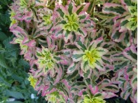 Euphorbia 'First Blush'