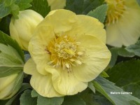 Helleborus Honeymoon 'California Dreaming'