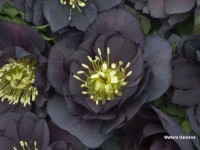 Helleborus Wedding Party 'Dark and Handsome'
