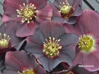 Helleborus Honeymoon 'Rome in Red'