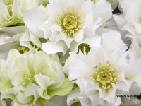 Helleborus Wedding Party 'Wedding Bells'