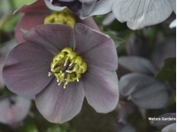 Helleborus Honeymoon 'Vegas Nights'