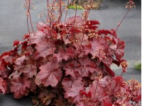 Heuchera 'Northern Exposure Red'