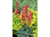 Heuchera City® 'Paris'