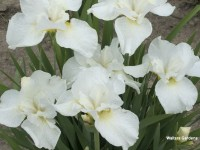 Iris s. 'Swans in Flight'