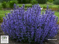 Nepeta 'Cat's Pajamas'
