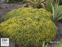Sedum 'Yellow Brick Road'