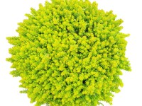 Sedum SunSparkler® Angelina's Teacup