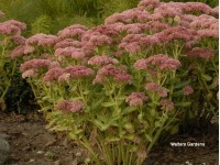 Sedum Autumn Delight®