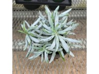 Senecio 'Mini Blue'