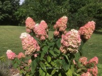 Hydrangea Fire Light® #3