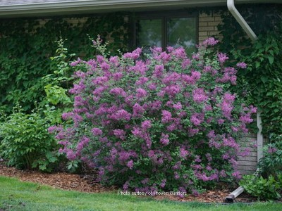 Syringa Bloomerang® Purple #3