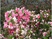 Weigela florida Czechmark Trilogy® #3